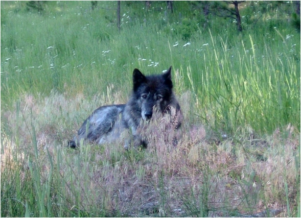 On the Prowl ~ A Better Understanding of Wolves with Dr. Cristina Eisenberg