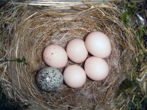 800px-Eastern_Phoebe-nest-Brown-headed-Cowbird-egg