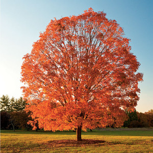 Acer saccharum: Sugar Maple Tree Official tree of NY state.